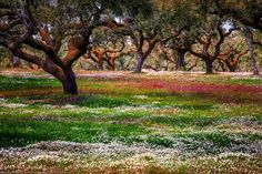 Wild Flowers under the Cork Trees, Alentajo, Portugal