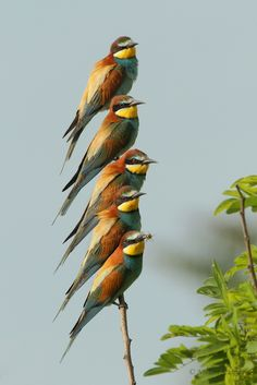 The European Bee-eater - Merops apiaster, is a near passerine bird. It breeds in southern Europe and in parts of North Africa