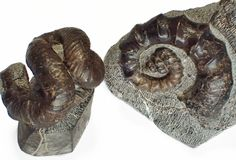 Nipponites mirabilis & Ainoceras kamuy ニッポニテス ミラビリス Size : 6.2 cm  アイノセラス カムイ Size : 8.0 cm Hokkaido, JAPAN  Heteromorph ammonite