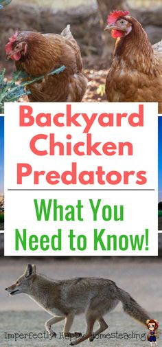 Backyard Chicken Predators - What You Need to Know to keep your homestead flock safe.