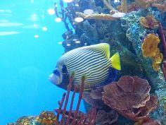 http://faaxaal.forumactif.com/t3854-photo-de-pomacanthide-poisson-ange-empereur-ange-de-mer-imperial-pomacanthus-imperator-emperor-angelfish
