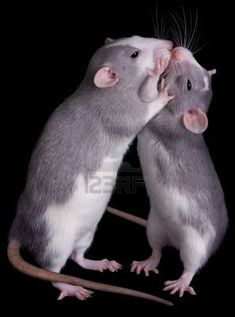 Rat - nice image