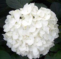 Another favorite flower...Snowballs!