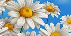 Το χαμομήλι μειώνει τις πιθανότητες εμφάνισης καρκίνου του θυρεοειδούς - http://biologikaorganikaproionta.com/health/192705/