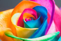How to make Rainbow Roses.  Rainbow roses are made by splitting the stem of white roses and resting the stem fragments in different colored dye.  The dye is drawn to the petals, which then become colored.