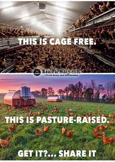 EATING PULTRY AND EGGS from factory farms is much less healthy for us than foods from natural farms -- healthier for the animals means healthier for us. https://www.facebook.com/REALfarmacy