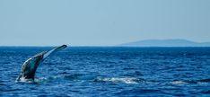 <p>Sur la route de Tadoussac Le Québec regorge de richesses incroyables telles que des grands espaces verts, des lacs à foison, des aurores boréales, des grandes villes dynamiques comme Montréal… Une autre ressource moins soupçonnée est l'observation de baleines. L'environnement particulier qu'offre le Fjord du Saguenay est un garde-manger paradisiaque …</p>