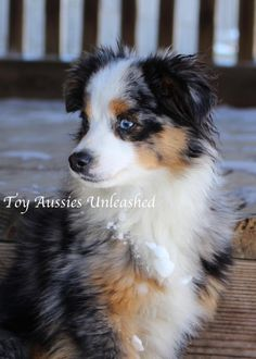 KC MURPHY Toy Aussies Unleashed -