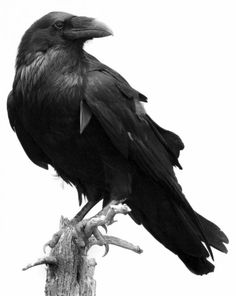 two ravens | Crow vs Raven: How to tell apart these two very similar birds? The ...