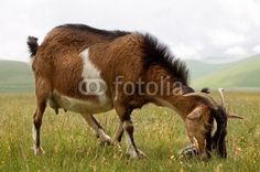 Capra la pascolo - Goat grazing © Pietro D'Antonio