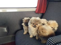 My first class passengers are on the way to their new homes and so in a hurry to meet their mums and dads. Girls having much fun in the train #pomeraniandogs #igclubdogs #dog_features #my_loving_pet #excellent_dogs #excellent_puppies #iganimal_snaps #topdogphoto #poshpamperedpets #petfancy #pommylovers #instagrampetphotos #pomeranianloverpost #showcasing_pets #poshpamperedpets #thedailypompom #bestwoof #weeklyfluff #dogsofinstagram  #mydogiscutest #cutepetclub #sendadogphoto #animaladdicts…