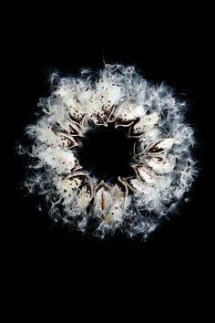 milkweed | STILL (mary jo hoffman)