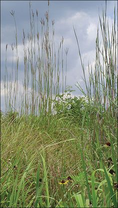 Mature seed stalks of big bluestem