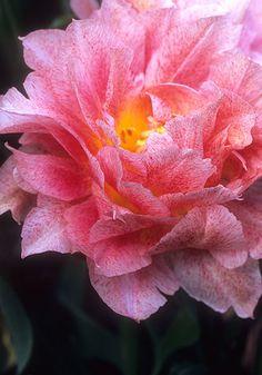 Tulip double 'Pompadour'