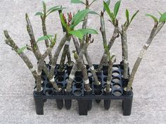Plumeria Care and Propagation: Rooting with the Texas Two-Step