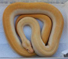 The Burmese Python Morph List - Reptile Forums Burmese Python, Beautiful Snakes, Ball Python, Prehistoric, Reptiles, Dog Bowls, Pets, Infatuation, Albino