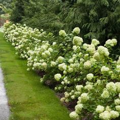 Get the dwarf version of the very popular Limelight Hydrangea with our Little Lime Hydrangea Paniculatas. Hydrangea Paniculata, Hydrangea Shrub, Limelight Hydrangea, Patio Fruit Trees, Patio Plants, Fall Plants, Green Flowers, Green Leaves, Hydrangeas For Sale