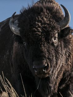Please Stop Trying To Take Photos With Bison, People