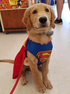 Flash, a four months old Golden Retriever pup, in his superman costume!