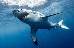 Important Information About The Scuba Diving Tank Lovely Creatures, Sea Creatures, Orcas, Cool Sharks, Shark Photos, Shark Bait, Shark Tattoos, Best Scuba Diving, Great White Shark