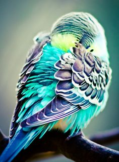 Parakeet / look at those colors!!! blends of turquoise and purple with a touch of yellow. LOVE@!