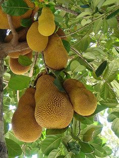 Lombok jackfruit . Indonesia