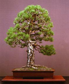 Scot's pine (Pinus sylvestris)  -Walter Pall