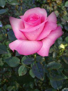 Hybrid tea roses – Home Decor Gardening Flowers Beautiful Rose Flowers, Exotic Flowers, Amazing Flowers, Beautiful Flowers, Roses Pink, Yellow Roses, Pink Flowers, Rose Reference, Rosa Rose