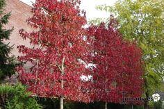 foto Liquidambar styraciflua 'Worplesdon' Amberboom