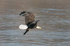 Bald Eagle flying with fish at Conowingo Dam