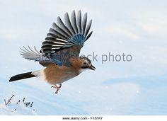 Jay (Garrulus glandarius) in flight with snow, Norway, November - Stock Image