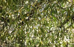 Viscum album = maretak / volgellijm = mistletoe, eigenlijk een heester, waardplant voor vlinders. Er is een kwekerij voor maar meestal groeien ze 'spontaan'