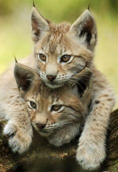 Two Iberian Lynx kittens