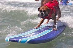 Boxers who love their lives. | 54 Reasons You Should Go To A Dog Surfing Competition Before You Die