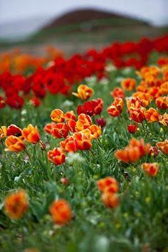 Tulip Park , Iran , Markazi , Mahallat