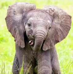 Baby Elephant Name, Happy Elephant, Elephant Love, Elephant Gifts, Baby Elephants, Cute Animals Puppies, Baby Puppies, Cute Baby Animals, Animals And Pets