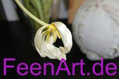 SG1L1286FAk  Flower Tulpe  Tulpen www.FeenArt.de | Claudia Böttcher