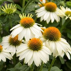 Coneflower PowWow White - a great drought-tolerant plant!