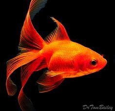 Fancy Goldfish, Featured item. #fancy #goldfish #fish #petfish #aquarium #aquariums #freshwater #freshwaterfish #featureditem