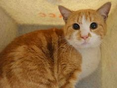 *** TO BE DESTROYED 01/28/16 *** SHY GUY, CREAMSICLE, WAS FOUND IN A BRONX PARKING LOT.....Who knows what he was looking for?? Most likely a home!! HOPEFULLY, CREAMSICLE can find one tonight!! CREAMSICLE needs time and TLC, he's a bit on the fearful side. But he will blossom with a special purrson willing to give him the time and attention he needs. IF YOU CAN HELP THIS YOUNG MAN FIND A TEMPORARY OR PURRMANENT HOME, please contact the HELP DESK at HELPCATS@URGENTPODR.ORG for assistance.