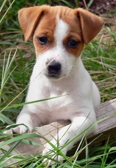 A very cute Jack Russell puppy!