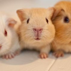adorable guinea pigs.