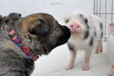 German Shepherd Puppies And Newborn Mini-Pigs Make For The Greatest Of Friends (PHOTOS)