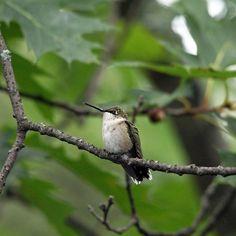 Just Resting - Mcgregor Bay Georgian Bay Ontario Canada #art #photography #birds #hummingbirds