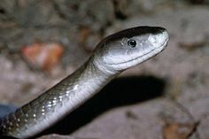 Black Mamba  http://news.nationalgeographic.com/news/2003/01/photogalleries/snakes/images/primary/snake_9n.jpg