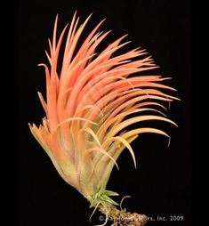 Tillandsia Victoria Orange $15.00