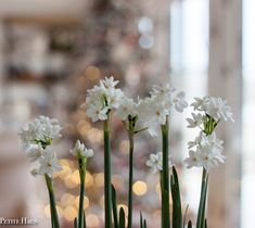 I grew paper whites for the first time last year for Christmas. But I planted them way too soon and they were already done blooming… Garden Bulbs, Bloom, Friday, Table Decorations, Paper, Plants, Christmas, Xmas, Weihnachten