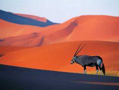 Oryx dans le desert du Namib Plus