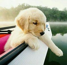 Www.instagram.com/beautiful.bae.blog.labrador #labrador #lab #labradoodle #labradorretriever #labradorpuppy #dog #dogs #puppy #pup #pet #pets #animal #animals #cute #dogs_of_instagram #petstagram #petsagram #photooftheday #dogsofinstagram #ilovemydog #instagramdogs #dogstagram #dogoftheday #lovedogs #lovepuppies #hound #adorable #doglover #instapuppy