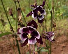 """Aquilegia vulgaris. Perennial in zones 3 – 8. William Guiness is an old fashioned European columbine that has hypnotic bicolored purple-black and white blooms that reach 2"""" across. Flowers are held high above foliage and are attractive to hummingbirds and butterflies. The low growing ferny green foliage is also quite attractive. Originating from the gardens …"""